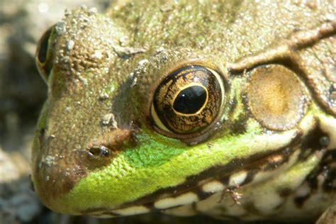 pa herp identification green frog