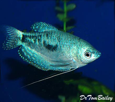 gourami  sale aquariumfishnet