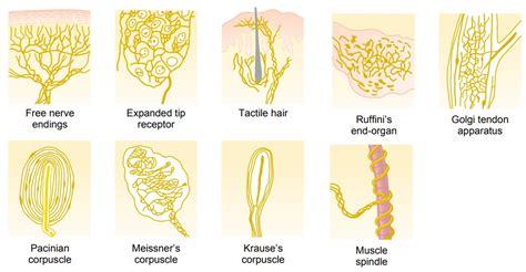 Types of Sensory Receptors and the Sensory Stimuli They Detect
