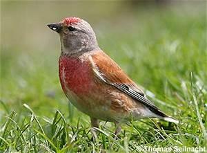 Vogel Mit Roter Brust : welcher vogel ist das vogel portal forum ~ Eleganceandgraceweddings.com Haus und Dekorationen