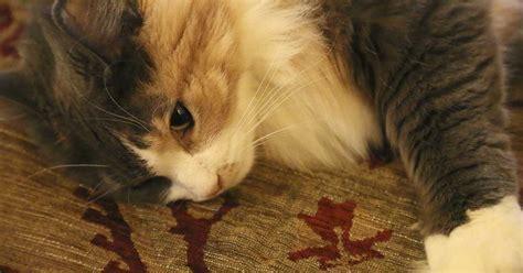 diabetes mellitus  common disease  cats