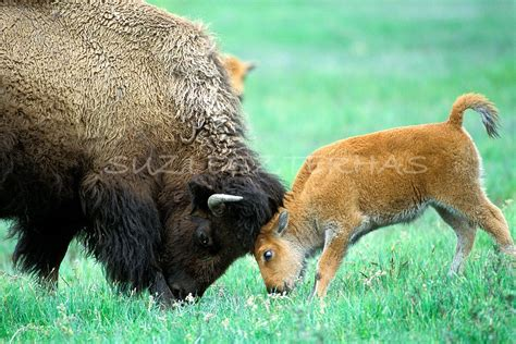 mom  baby animal photography baby bison  mom play
