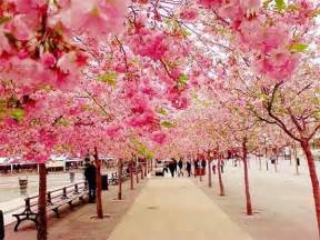 Cherry Blossom Walk Japan