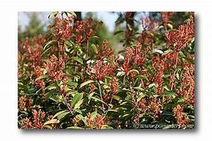 Photinia Fraseri Robusta Compacta : photinia ~ Buech-reservation.com Haus und Dekorationen