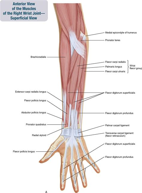 Usually derived from latin, a muscle's name often tells you something about the muscle, such as its location, origin, number of. 7. Muscles of the Forearm and Hand | Musculoskeletal Key