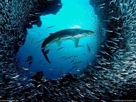 animals   ocean big fish   company   flock