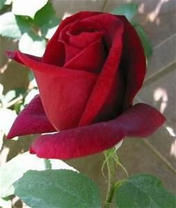 Bouton De Rose : le bouton de rose ~ Dode.kayakingforconservation.com Idées de Décoration