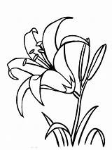 Coloring Flower Lily Flowers Lilies Template sketch template