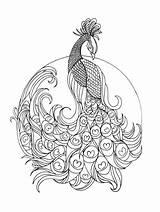 Coloring Peacock Pdf Animal Bird sketch template