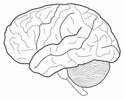 Brain Coloring Sheet Science Biology Pages Human