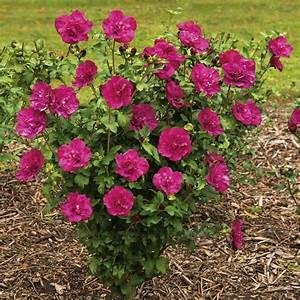 Hibiskus Stämmchen Kaufen : hibiskus 39 magenta chiffon 39 online kaufen bei ahrens sieberz ~ Buech-reservation.com Haus und Dekorationen