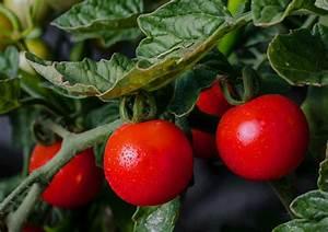 Tomaten Selber Anbauen : tomaten anbauen zeitpunkt f r eine erfolgreich ernte ~ Orissabook.com Haus und Dekorationen