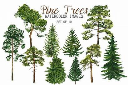 Pine Trees Watercolor Clipart Spruce Types Graphics