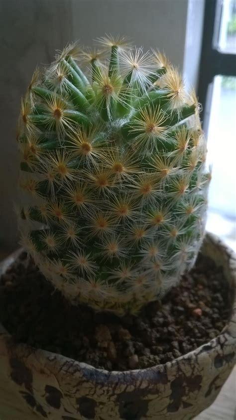 แคคตัส (Cactus)