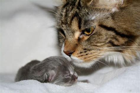 chaton avec sa maman animaux avec leurs b 233 b 233 s