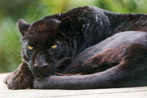 Black Panther Animal Wallpaper - black panther wallpaper animals wallpaper better