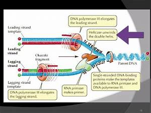 As Level  F 3 Dna Replication  Ms Cooper