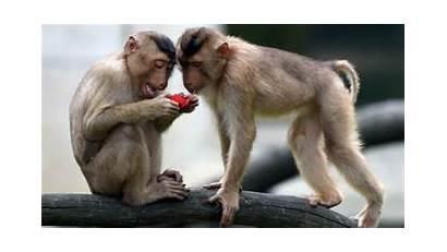 Monkey Monkeys Lab Npr Nell Classification Animals
