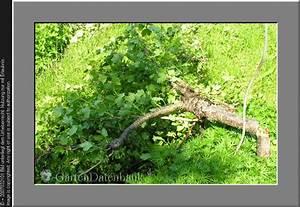 Hochstamm Stachelbeeren Schneiden : bild stachelbeere schneiden pflege ribes uva crispa foto ~ Lizthompson.info Haus und Dekorationen