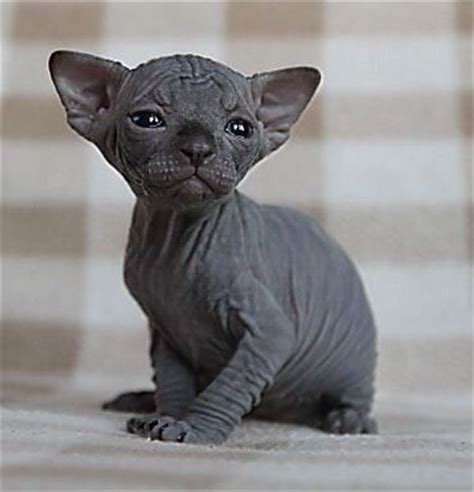 Sphynx Hairless Cat Breed Information And 30 Photos