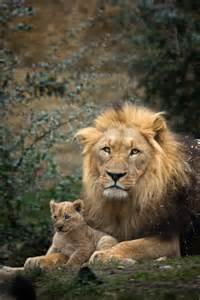 Lion Cub with Father