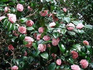 Camellia Japonica Winterhart : sementes camellia japonica camelia flores gigante rosa mudas r 9 90 em mercado livre ~ Eleganceandgraceweddings.com Haus und Dekorationen