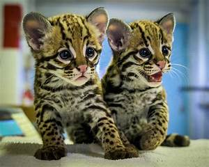 Online Business Budget Zoo Celebrates Its First Ever Ocelot Birth City Of