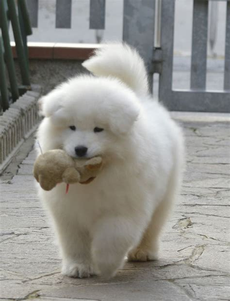 993 Best Samoyed My Love Images On Pinterest Dogs