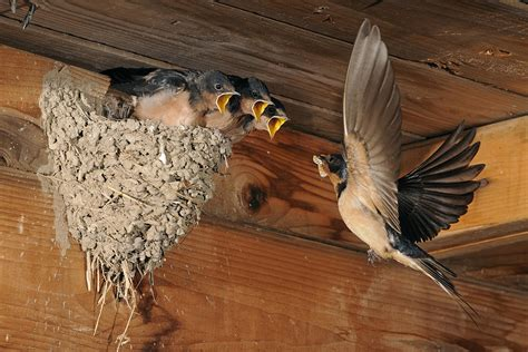 barn wood wall barn swallows at nest photograph by linstead