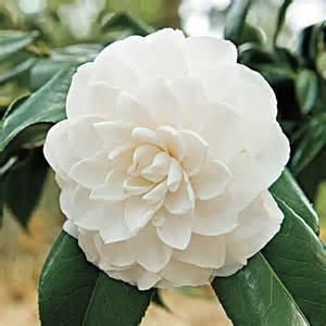Camellia Planting Guide