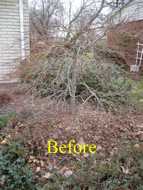 prune acer top 28 pruning japanese maple trees how to prune a japanese maple tree the rockdale