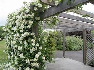 Plante Grimpante Pergola : zoom d une pergola en bois avec des plantes grimpantes rosier en blanc penmie bee ~ Nature-et-papiers.com Idées de Décoration