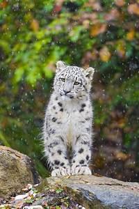 5736 best images about Snow Leopard on Pinterest   Bronx ...