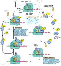 Protein Synthesis Translation Steps
