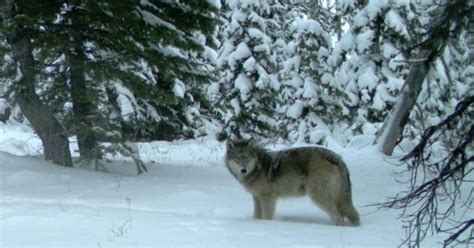 Wisconsin Wants To Scale Back Annual Wolf Hunt Grand