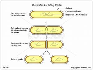 The Process Of Binary Fission Illustrations