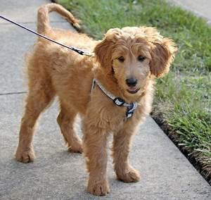 Toy (Petite) Goldendoodle Info, Temperament, Puppies ...