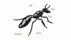 Ameisen Mit Flügel : ameisen lebensweise k rperbau und fortpflanzung ~ Buech-reservation.com Haus und Dekorationen