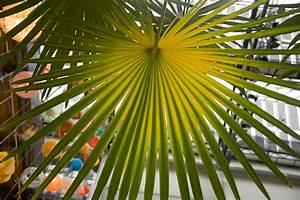 Hanfpalme Braune Blätter : hanfpalme bekommt gelbe bl tter woran liegt 39 s ~ Lizthompson.info Haus und Dekorationen