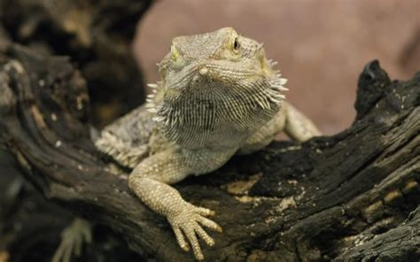 Each of our wallpapers can be downloaded to fit almost any device, no matter if you're running an android phone, iphone, tablet or pc. Bearded Dragon Wallpaper ·① WallpaperTag