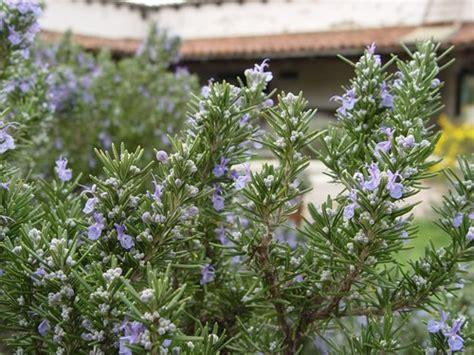 mediterranean landscaping plants mediterranean landscaping plants landscaping network