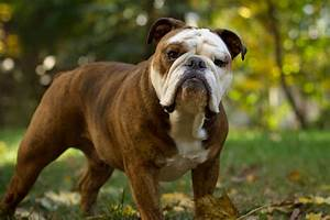 Cute Dogs|Pets: Miniature English Bulldogs Pictures