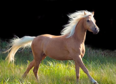 Black Palomino Horse