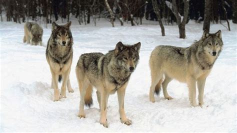 More hunting dogs killed by wolves during bear season