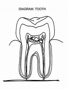 Tooth Anatomy Diagram Unlabeled On Worksheets Sketch Coloring Page