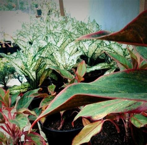 tips memupuk tanaman hias pot merawat bunga