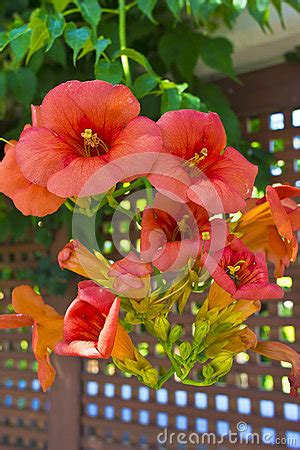 summer flowering climbers orange flowers of a climbing plant in a garden