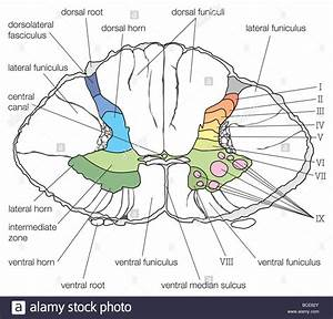 Spinal Cord Cross Section Diagram A Cross Section Of The