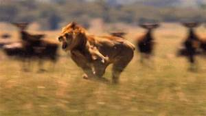 Big Cat Running GIF - Find & Share on GIPHY