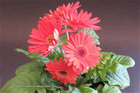 grow gerbera flowering plants gardening